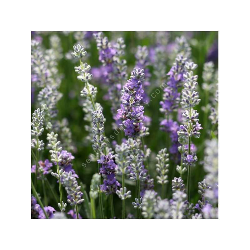 Lavandula angustifolia 'Bluesette' - Vraie Lavande