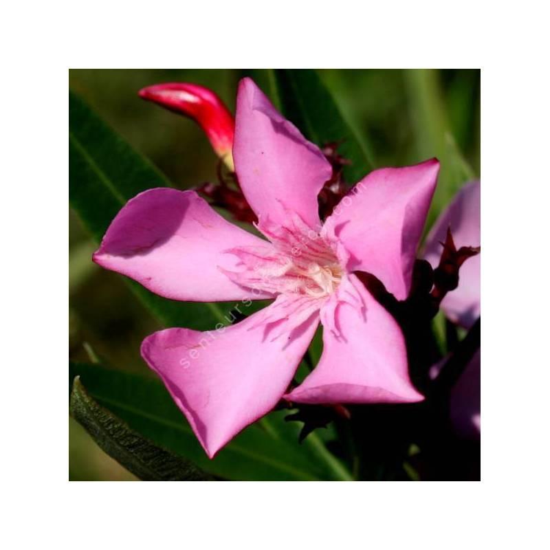 Laurier-rose 'Atlas' - Nerium rose simple