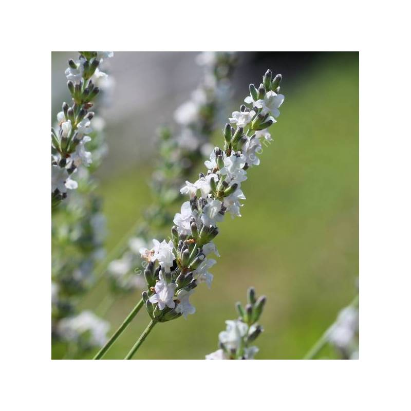 Lavandula x intermedia 'Edelweiss' - Lavandin blanc