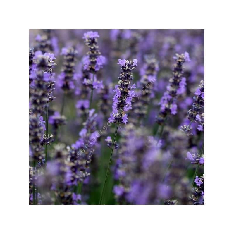 Lavandula angustifolia 'Diva' - Vraie Lavande
