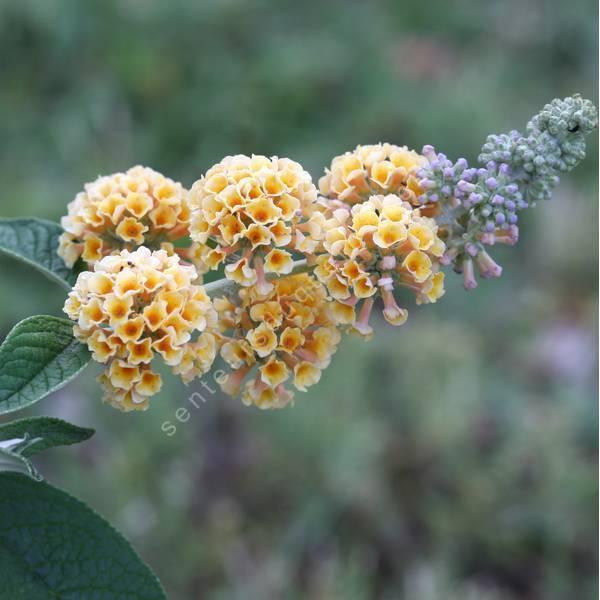 Buddleja x weyeriana 'Golden Glow' - Arbre aux papillons jaune