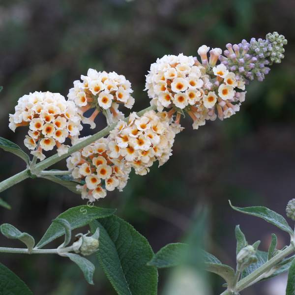 Buddleja x weyeriana 'Moonlight' - Arbre aux papillons jaune