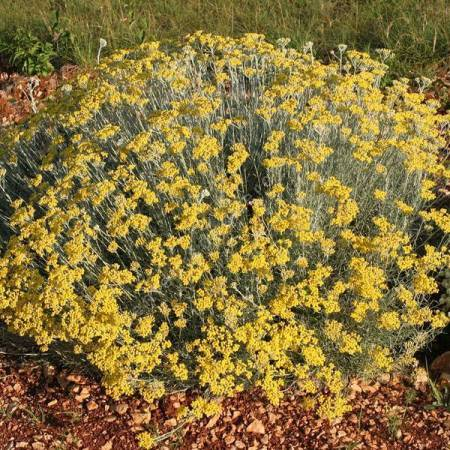 Helichrysum 'Miel & Curry' - Immortelle
