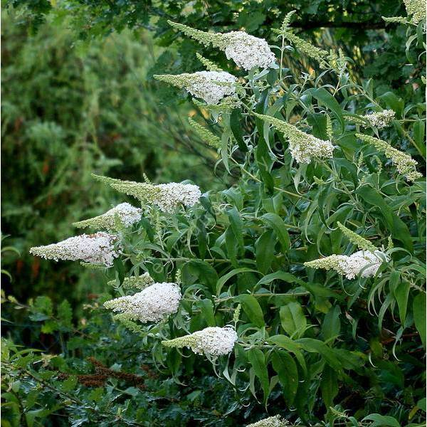 Buddleja Arbre aux papillons blanc Buddleia davidii /'White Profusion/'