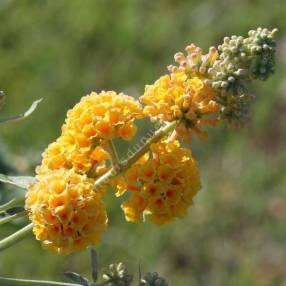 Buddleja x weyeriana 'Sungold' - Arbre aux papillons jaune