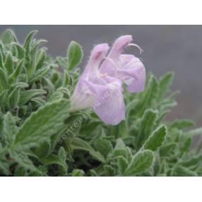 Salvia caespitosa - Sauge cespiteuse