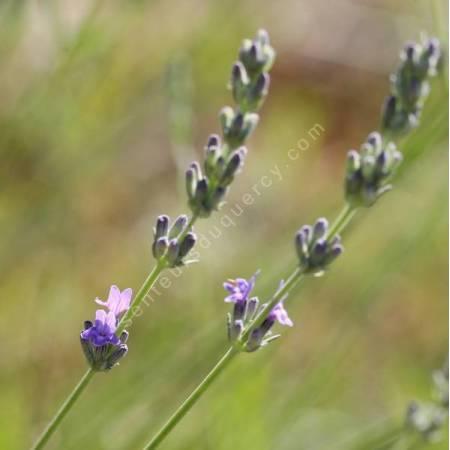 Lavandula latifolia - Lavande aspic