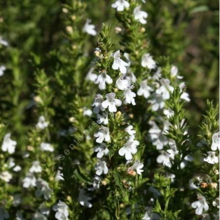 Satureja montana - Sarriette vivace