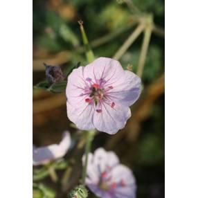 Erodium celtibericum 'Penagolosa'
