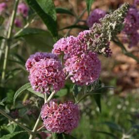 Buddleja x weyeriana 'Pagode Rose' - Arbre aux papillons rose