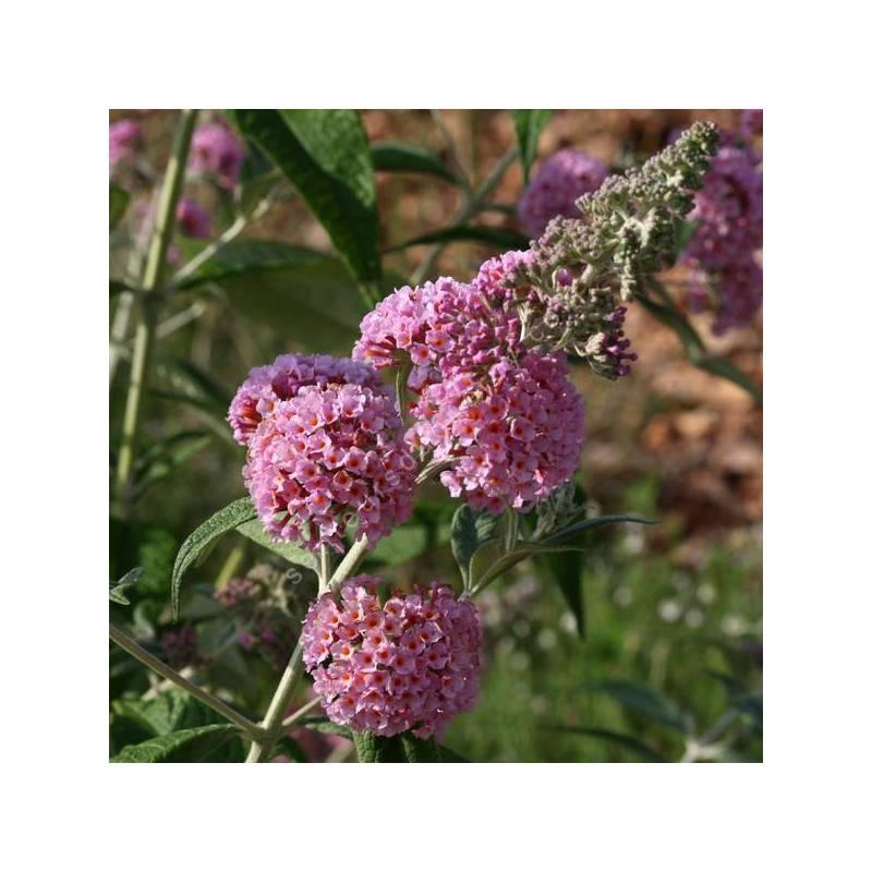 Buddleja x weyeriana 'Rose' - Arbre aux papillons rose