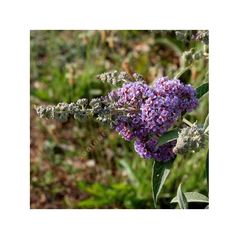 Buddleja x weyeriana 'Bleu' - Arbre aux papillons bleu