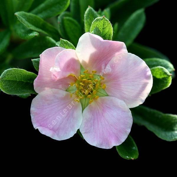 Potentilla fruticosa 'Beauté Rose' - Potentille arbustive à fleur rose