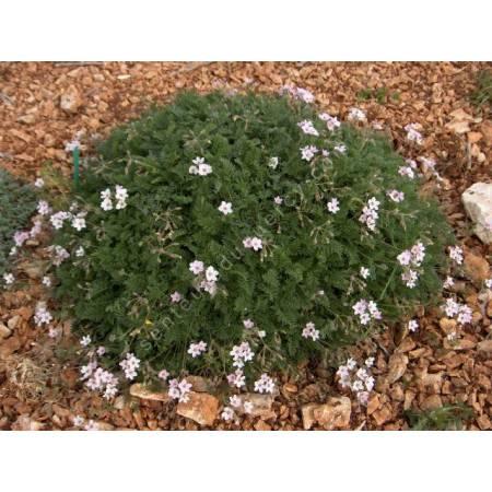Erodium absinthioides
