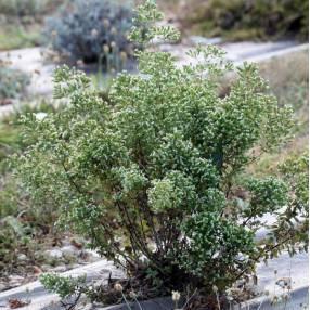 Origanum vulgare subsp. hirtum - Origan grecque