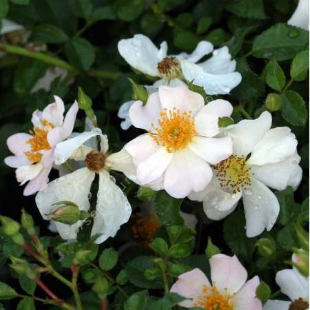Rosa 'Grouse' - Rosier couvre-sol