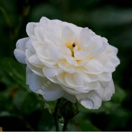 Rosa x polyantha 'White Pet' - Rosier paysage blanc double