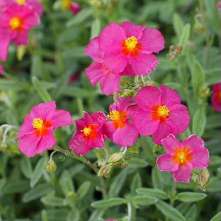 Helianthemum  'Ben Hope' - Hélianthème bicolor