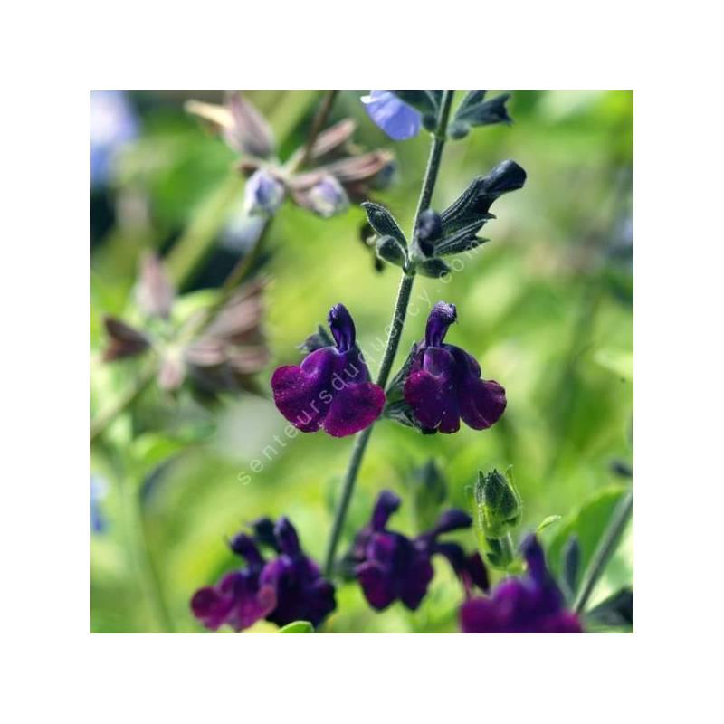 Salvia 'Papillon de Nuit' - Sauge arbustive violet