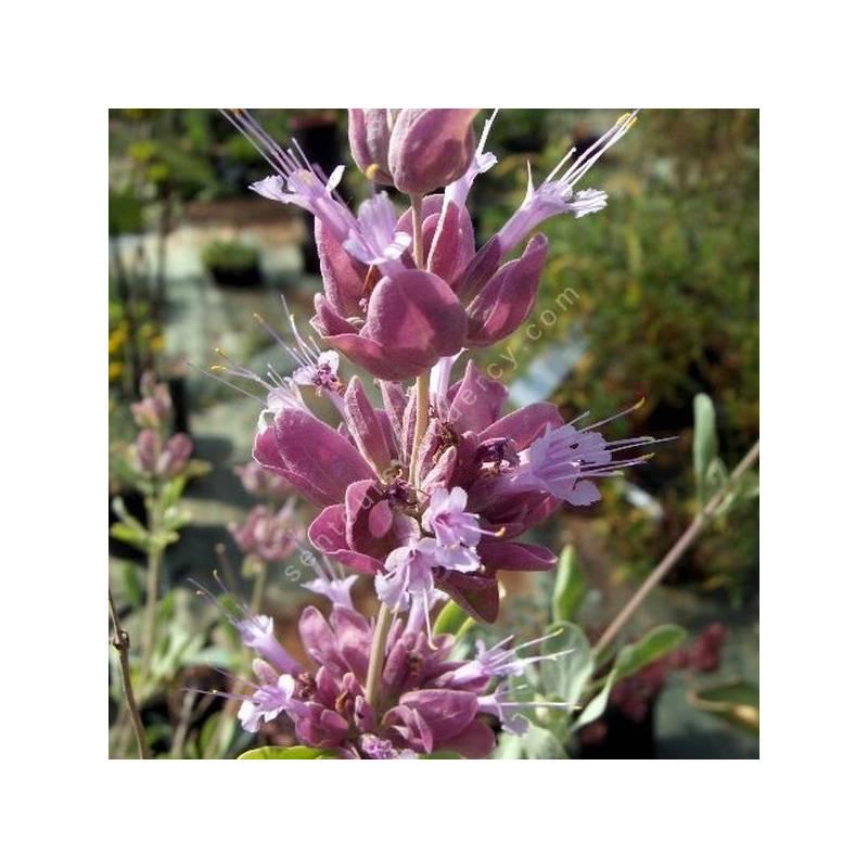 Salvia pachyphylla - Sauge du désert