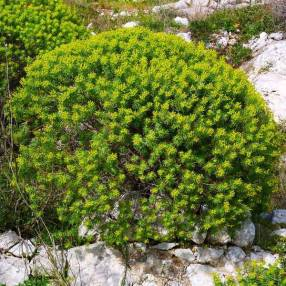 Euphorbia dendroides - Euphorbe arborescente