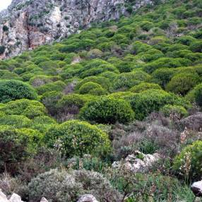 Euphorbia dendroides - Euphorbe arborescente en Crête
