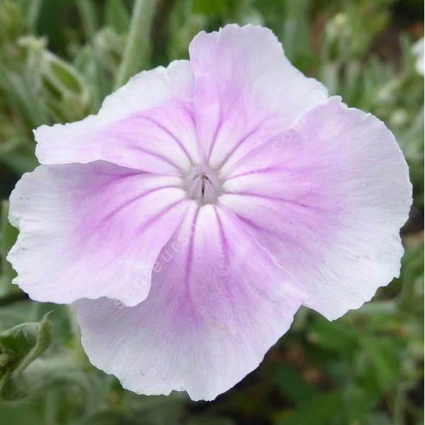 Lychnis coronaria 'Oculata' - Coquelourde blanche à cœur rose