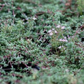 Thymus herba-barona - Thym Corse