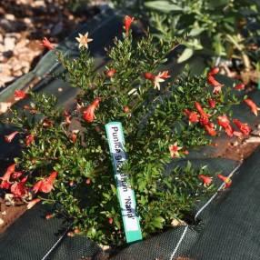 Punica granatum 'Nana' - Grenadier à fruit nain
