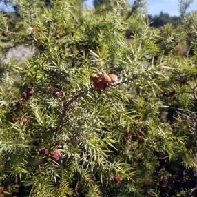Juniperus communis - Genévrier commun