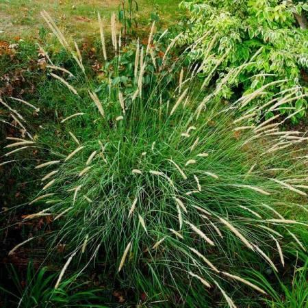 Pennisetum macrourum - Herbe aux écouvillons