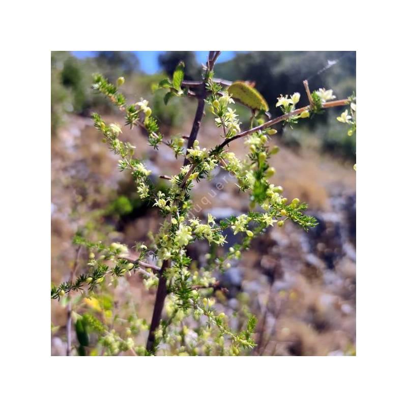 Asparagus acutifolius - Asperge à feuilles piquantes