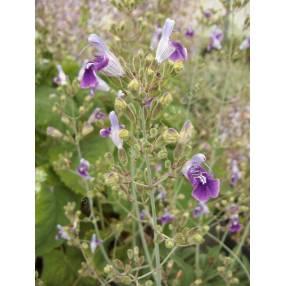 Salvia candelabrum - Sauge candelabre