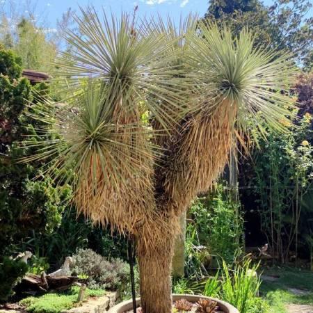 Yucca thompsoniana - Yucca de Thompson