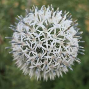 Echinops bannaticus 'Albus' - Chardon boule à fleur blanche