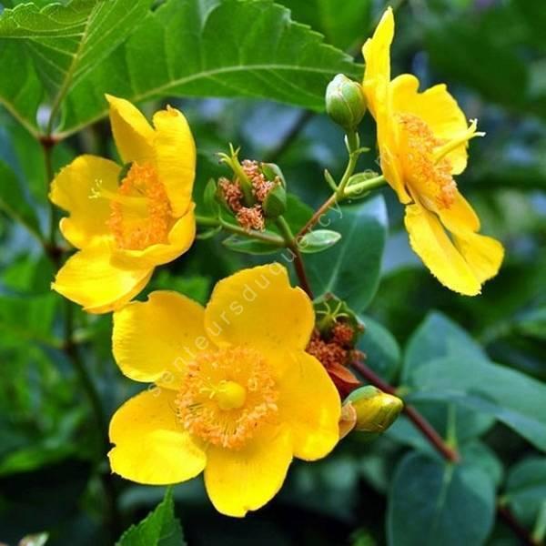 Hypericum x hidcoteense 'Hidcote' - Millepertuis arbustif
