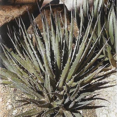 Agave utahensis subsp. nevadensis - Agave de l'Utah