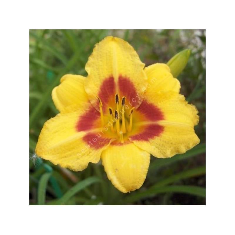 Hemerocallis 'Little Cadet' - Hémérocalle de bordure jaune et rouge