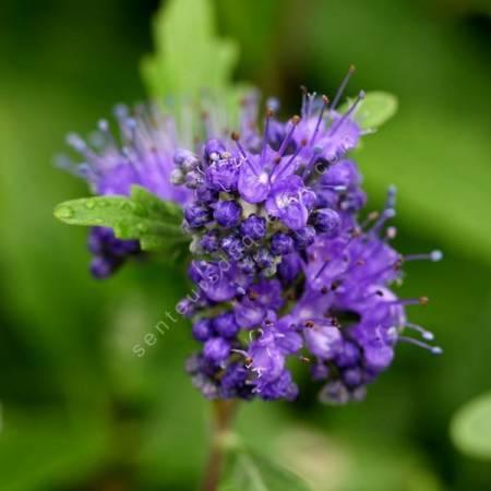 Caryopteris x clandonensis 'Grand Bleu' - Barbe bleue