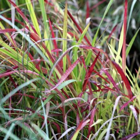 Imperata cylindrica 'Red Baron' - Herbe sanglante