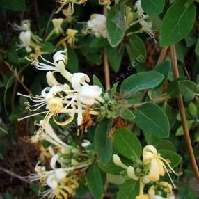 Lonicera biflora - Chèvrefeuille à deux fleurs