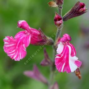 Salvia 'Cassandra' - Sauge arbustive rose tigrée de blanc