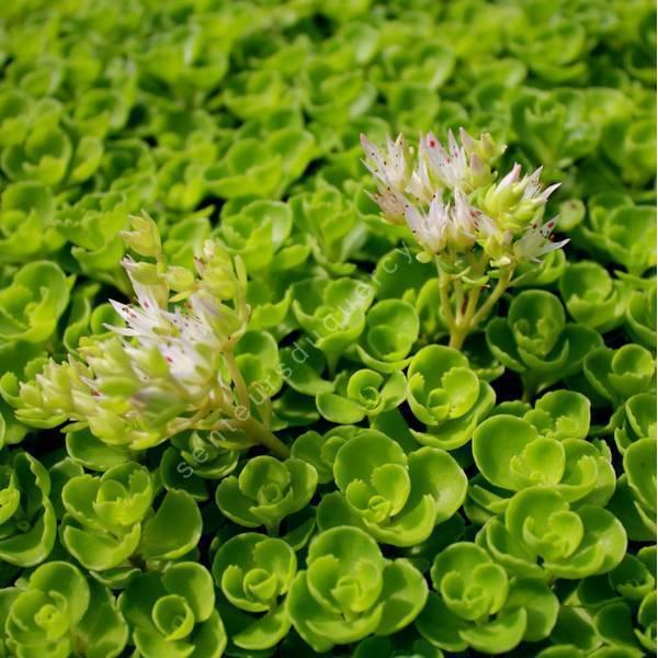 Phedimus spurius 'Album' - Orpin bâtard à fleur blanche