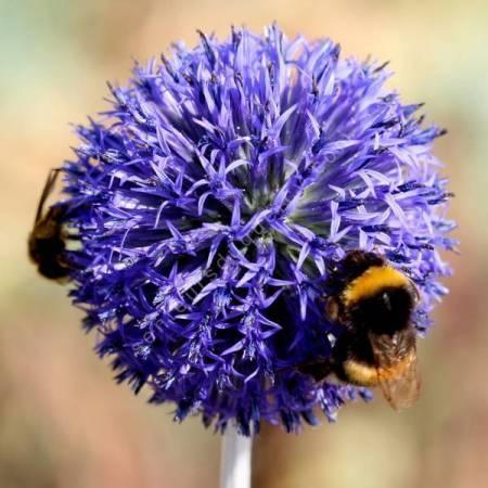 Echinops ritro 'Veitch's Blue' - Chardon boule bleu soutenu