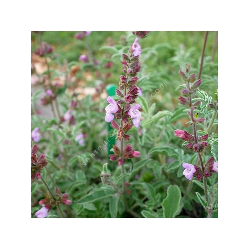 Salvia pinnata -Sauge à feuilles pennées