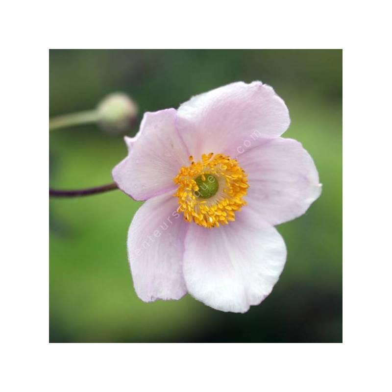 Anemone hupehensis - Anémone du Japon