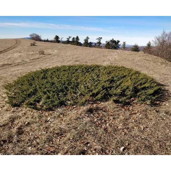 Juniperus communis 'Rependa' - Genévrier commun rampant
