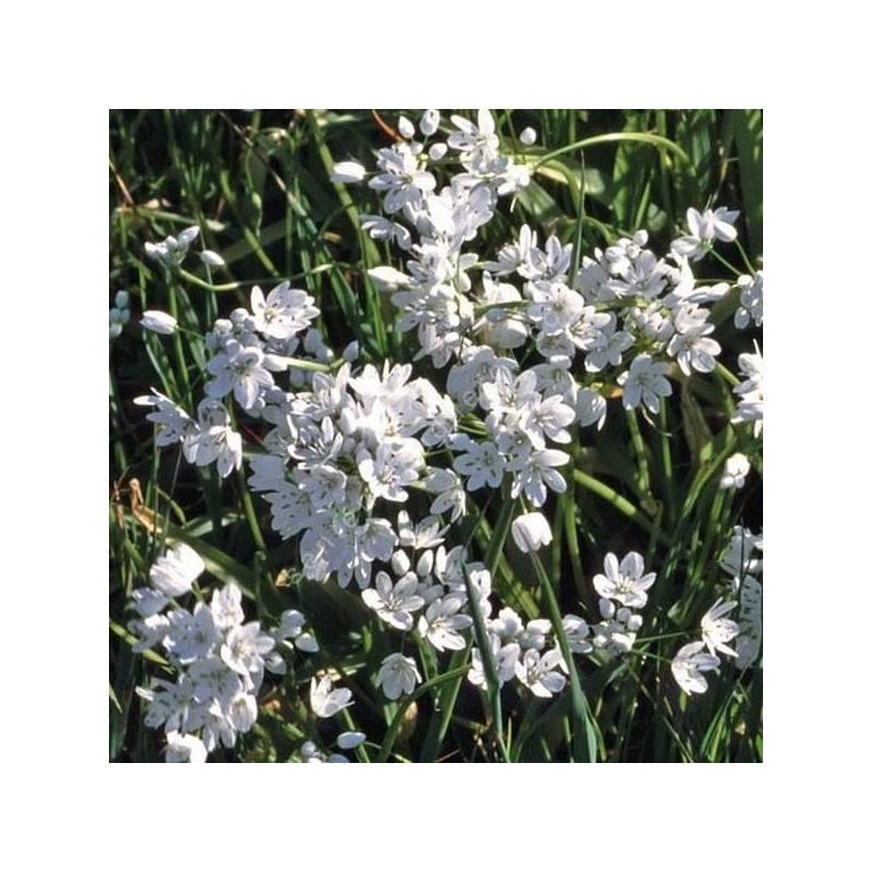 Allium neapolitanum - Ail de Naples