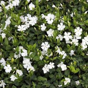 Vinca minor 'Alba' - Petite pervenche blanche