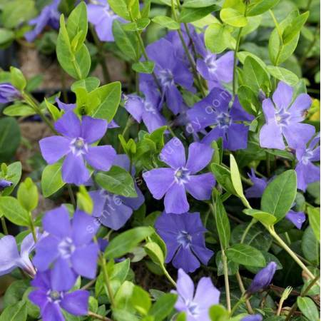 Vinca minor 'La Grave' - Petite pervenche bleue